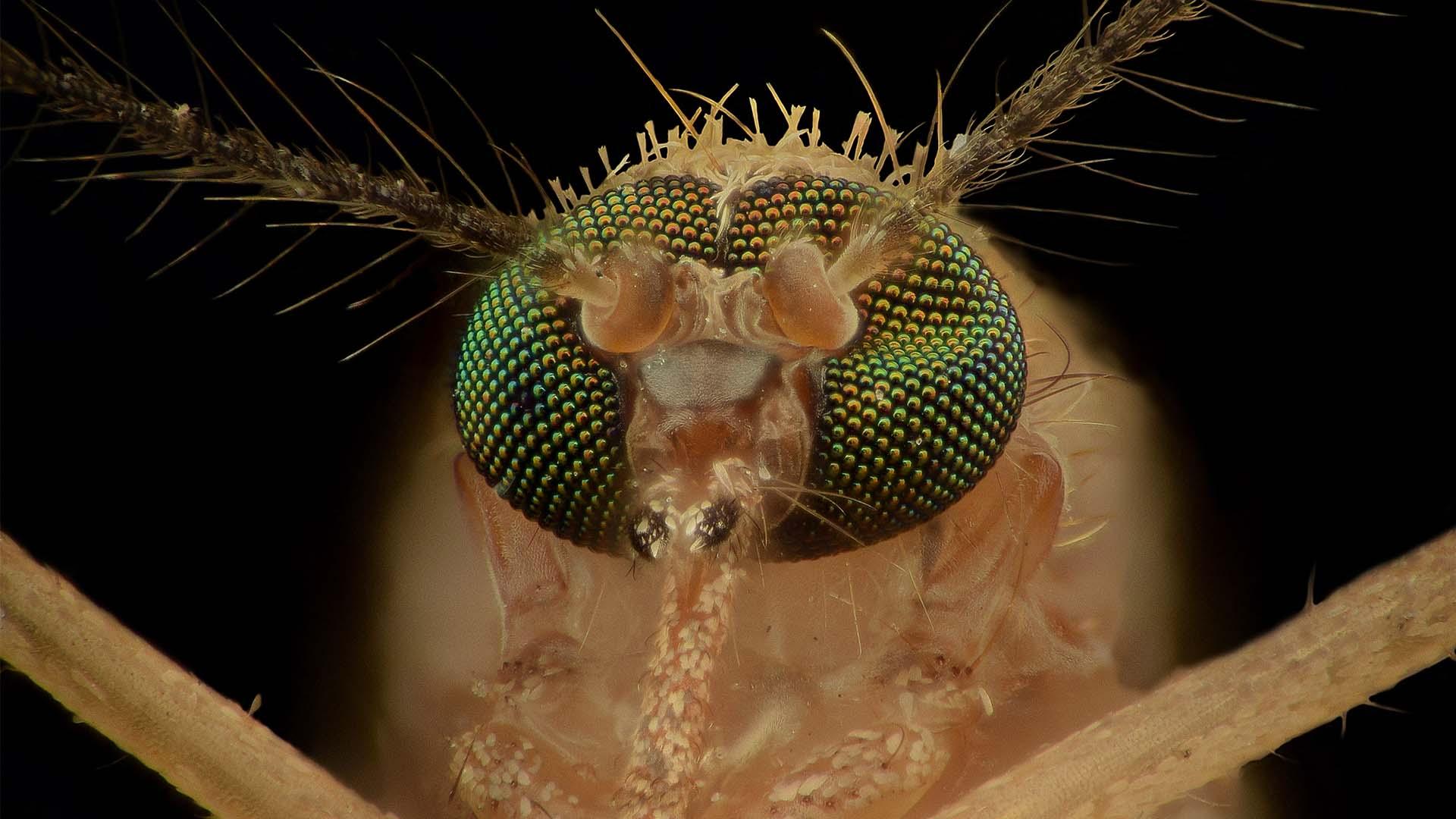 Mosquito Anatomy Up Close