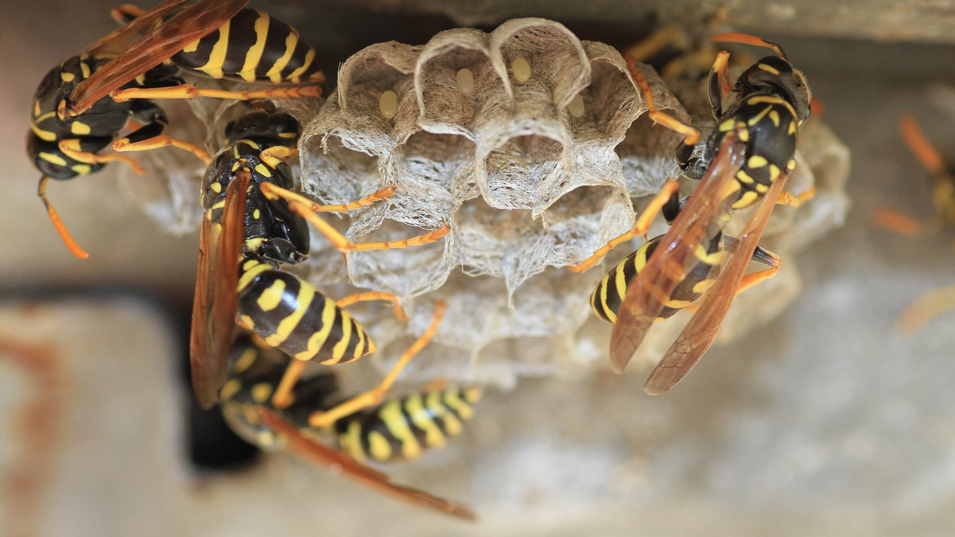 wasp on hive