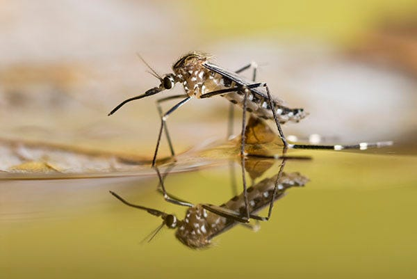Mosquito walking on water