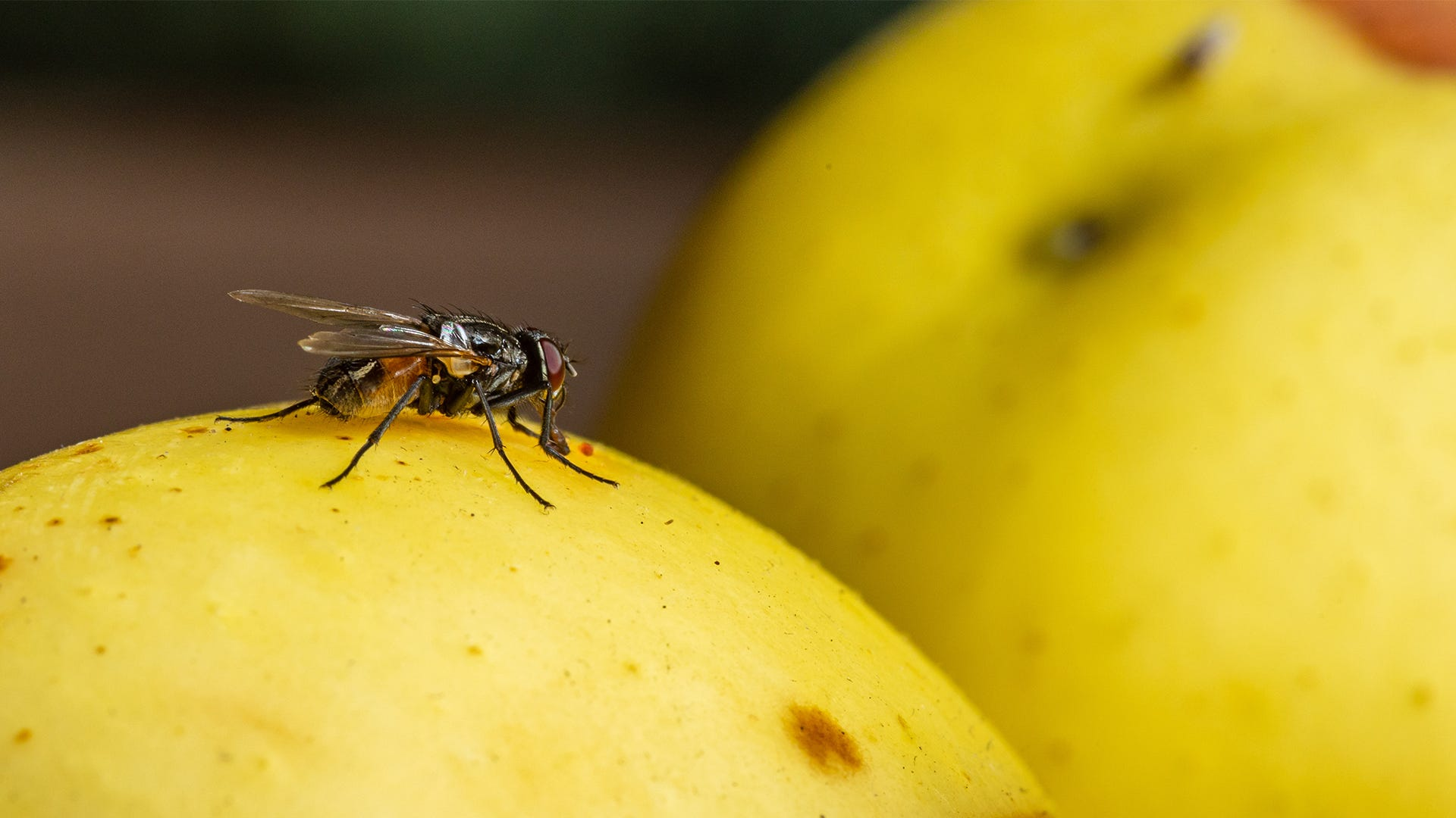 fly on fruit