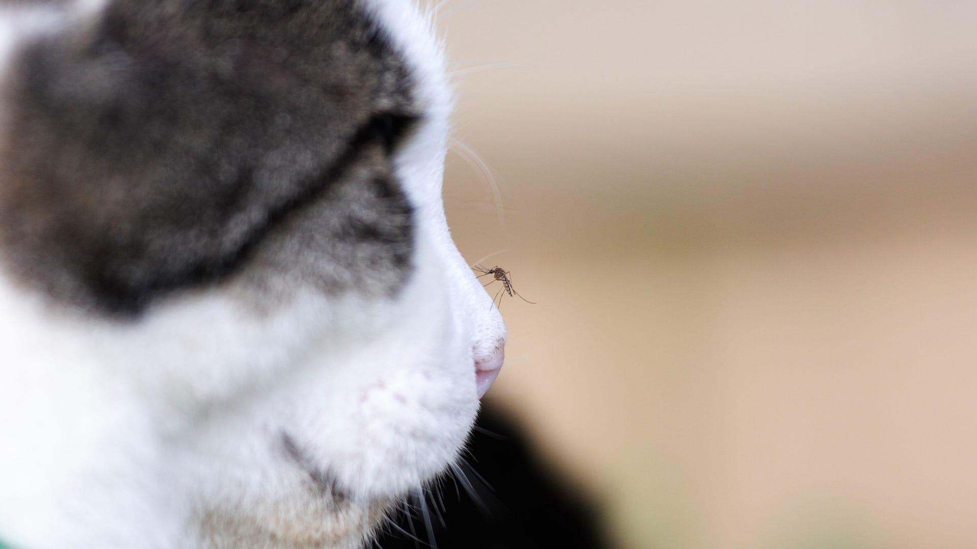 mosquito cat